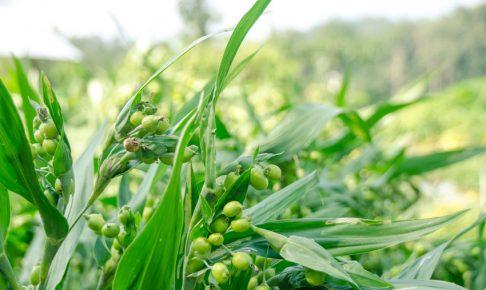 Job's tear plant in organic farm,Thailand.